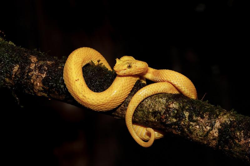 An adult golden phase Eyelash Pitviper showing off its eyelashes