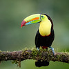 Keel-billed Toucans have spectacular multicoloured bills