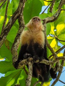 White faced monkey, Manuel Antonio NP, Costa Rica