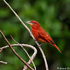 Hepatic Tanager by Grace Chen in March 2018 in Costa Rica