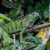 A young Green Iguana