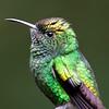 Copper-Headed Hummingbird Close-up