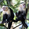 Two Capuchin Monkeys on Tree Limbs