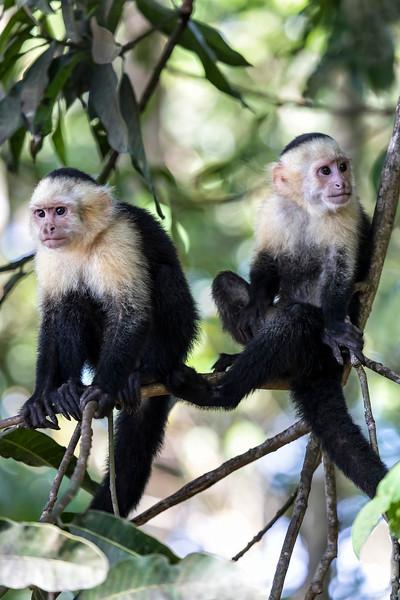 Two Capuchin Monkeys on Tree Limbs