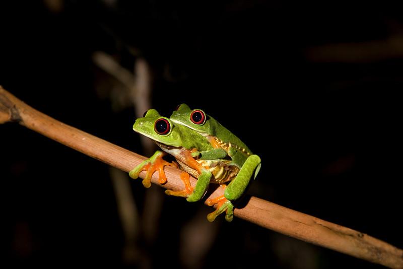 Red-eyed Leaf Frog VIII