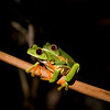 Red-eyed Leaf Frog VIII