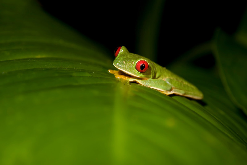 Red-eyed Leaf Frog III