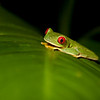 Red-eyed Leaf Frog III