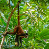 Geoffroys Spider monkeys are endangered, mainly due to habitat loss