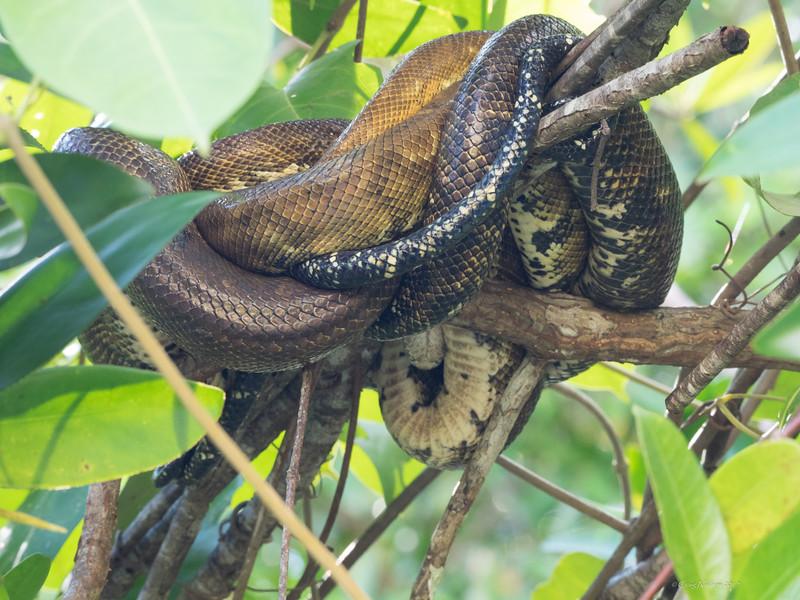 Tree python, Quepos - Damas Mangrove Swamp