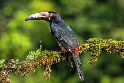 Collard Aracari