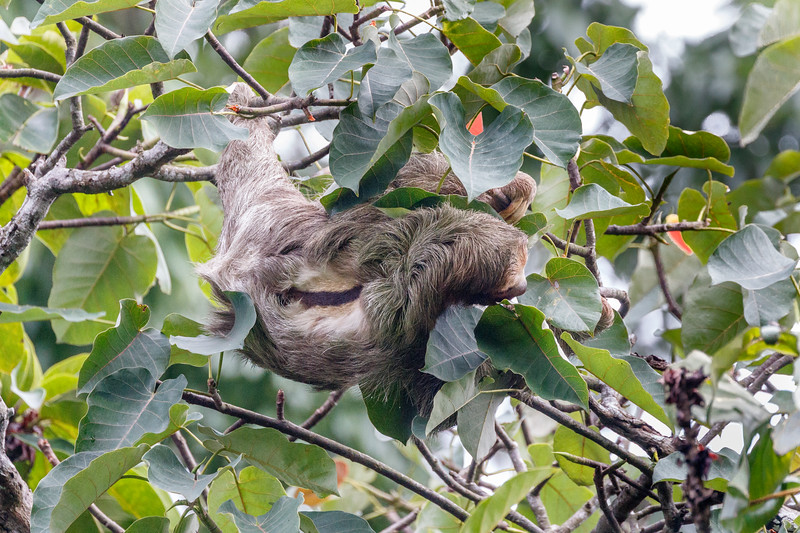 We saw our first Three-toed Sloth from a cafe car park!  The patch of orange and black fur on its back show that this was a male