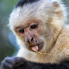 Capuchin Monkey with Piece of Fruit