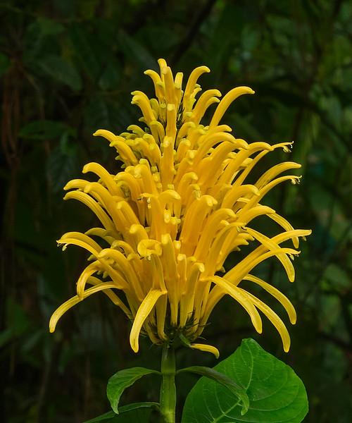 Yellow Jacobinia Flower