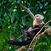 Sadly White-faced Capuchins are often known as organ-grinder's monkeys