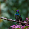 A male Magnificent Hummingbird showing off its violet forecrown and turqoise throat - a stunning bird
