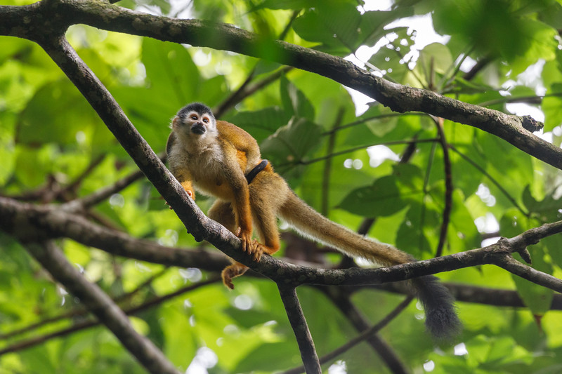 Mother and young Squirrel Monkey