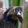 Coatimundis are equally at home on the ground or in trees