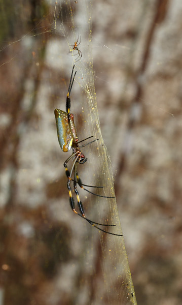 The web of Golden Orb-weavers has six times the strength of tensile steel!