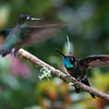 Two male Magnificent Hummingbirds showing aggression towards each other