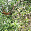 Spider monkey, Cano Negro River Tour