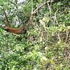 Spider monkey, Cano Negro River Tour