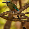 Turquoise-browed Motmot by Grace Chen in March 2018 in Costa Rica