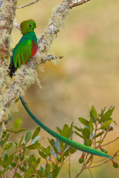 Resplendent Quetzal, Male, in the Avocacdo tree with the fruit that is a mainstay of its diet.  The males have the long tails, not the females.