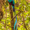 Resplendent Quetzal, by Grace Chen in March 2018 in Costa Rica