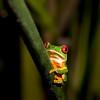Red-eyed Leaf Frog VI