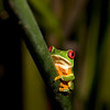 Red-eyed Leaf Frog VI
