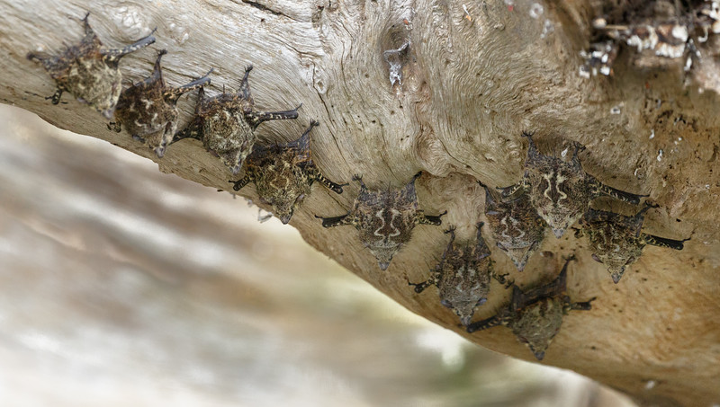 Roosting Brazilian Long-nosed Bats - they spend their days on the undersides of leaning tree trunks overlooking rivers