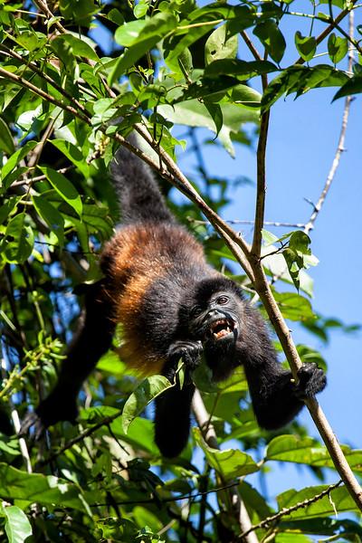 Growling Howler Monkey