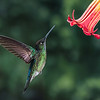 Magnificent Hummingbird (female)