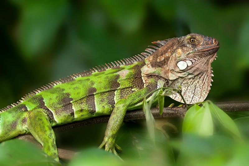 Green Iguana lounging on a tree limb