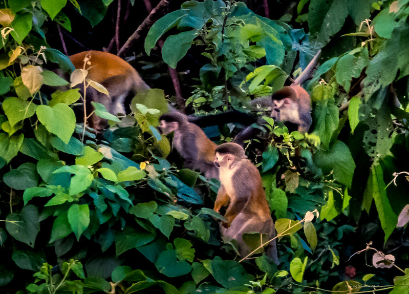 Squirrel monkeys, Manuel Antonio