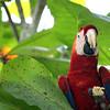 """Macaw 2"" | Costa Rica"