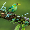 Green Honeycreeper (juvenile)