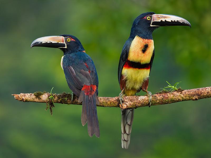 Collared Aracaris