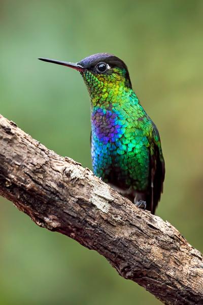 Firey-throated Hummingbird on a branch