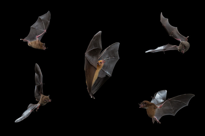 Long Tongued Bats