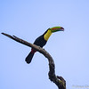 Keel-billed Toucan by Grace Chen in March 2018 in Costa Rica