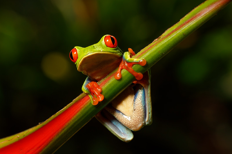 Red-eyed Tree Frogs are the most iconic Costa Rican species