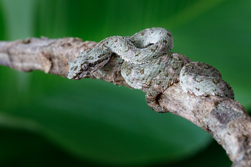 "A ""baby"" Eyelash Pitviper, small but still venomous!"