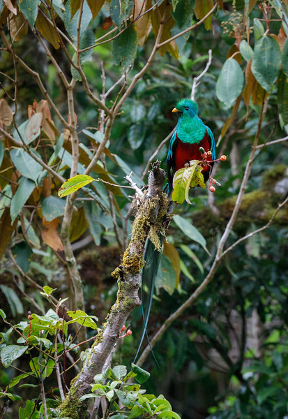 Resplendent Quetzals love wild avocados which are about the size of acorns