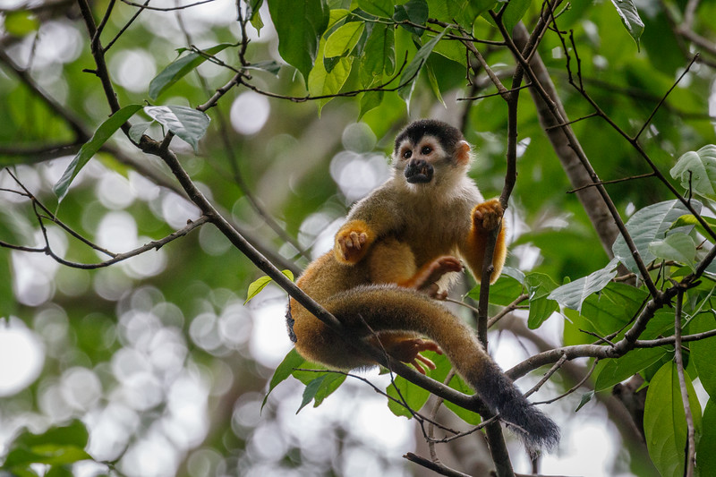 The Squirrel Monkeys in the Osa peninsula have black caps and are reddish over the back, shoulder and flanks