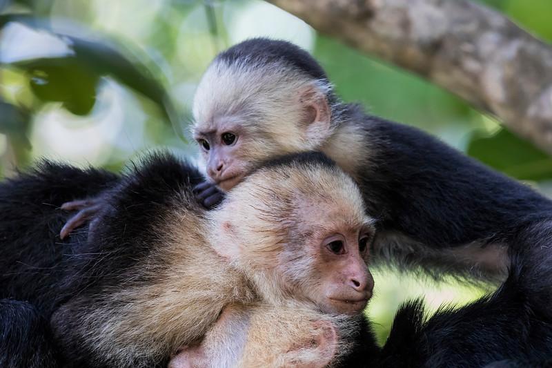 Three Capuchin Monkeys Lounging