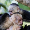 Three Capuchin Monkeys Lounging