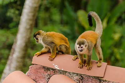 Squirrel Monkeys on Inn Rooftop