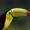 Portrait of a Keel-billed Toucan